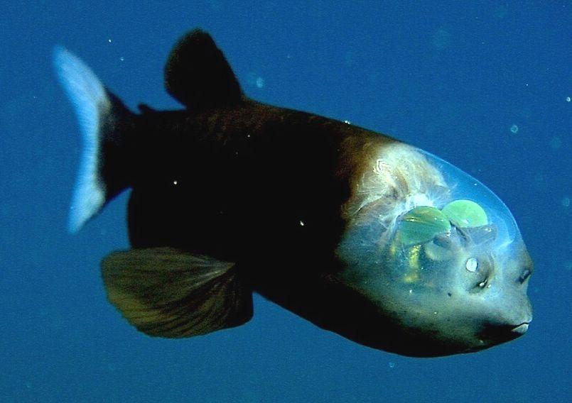 рыба из марианской впадины