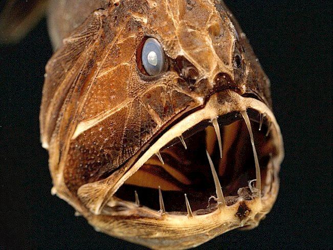Рыба марианской впадины